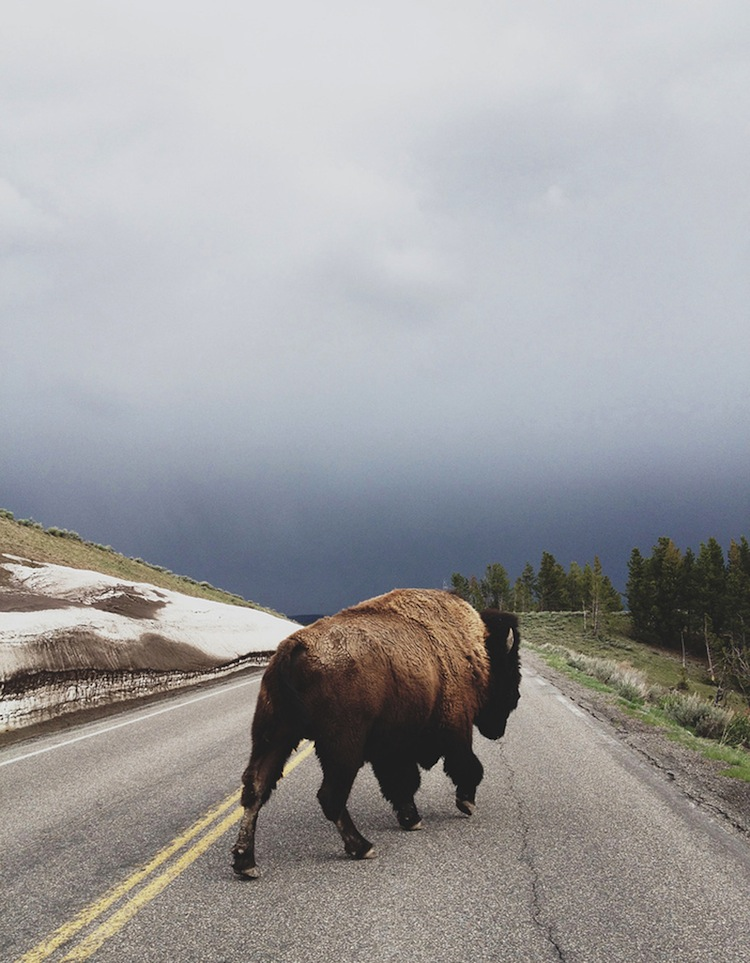Bison by Kevin Russ